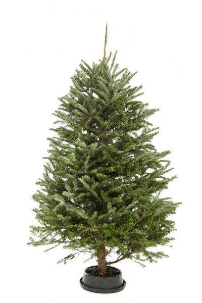 Christmas Tree Not Drinking Water
